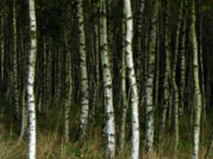 Why Birch Helps Wounds Heal More Quickly