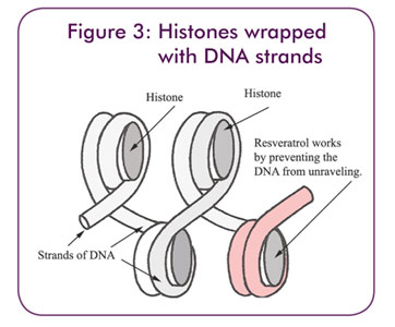 Figure 3: Histones wrapped with DNA strands