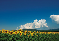 fiekd of sunflowers