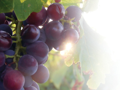 grapes on the vine in the sun